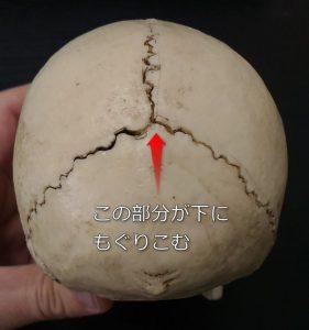 後頭骨がもぐりこむ位置を示す